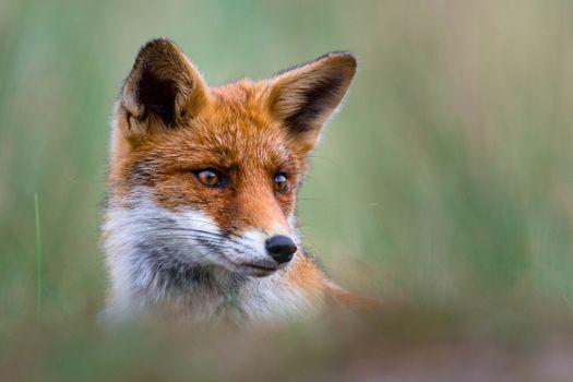 лиса, рыжая, морда, взгляд, уши, бедра, портрет