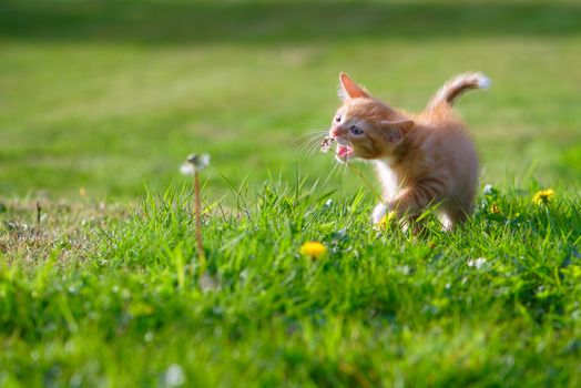 ginger kitten, kitten, kid, dandelions, meadow