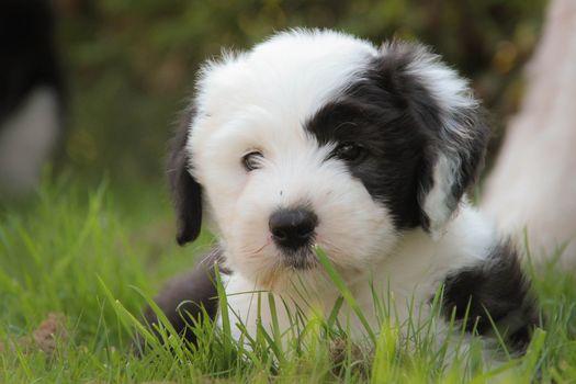 bobtail, dog, puppy, grass