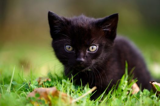 black kitten, kitten, kid, muzzle, sight, grass