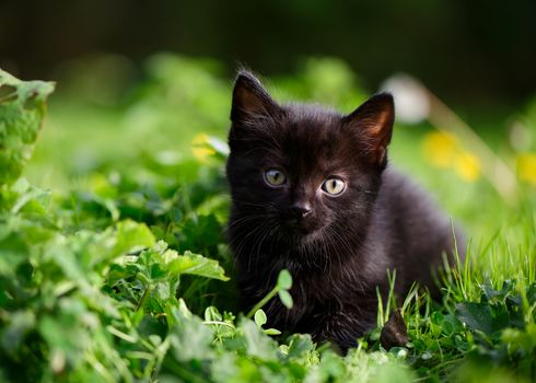 black kitten, kitten, kid, sight, grass