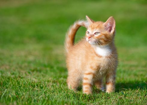 ginger kitten, kitten, kid, grass
