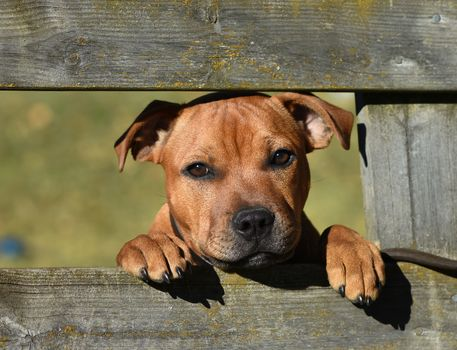 Staffordshire Bull Terrier, dog, muzzle, sight, fence