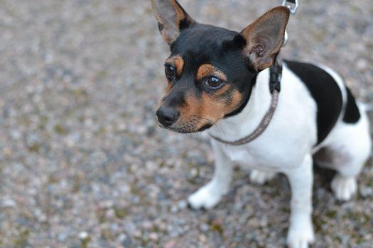 Danish-Swedish farm dog, dog, puppy