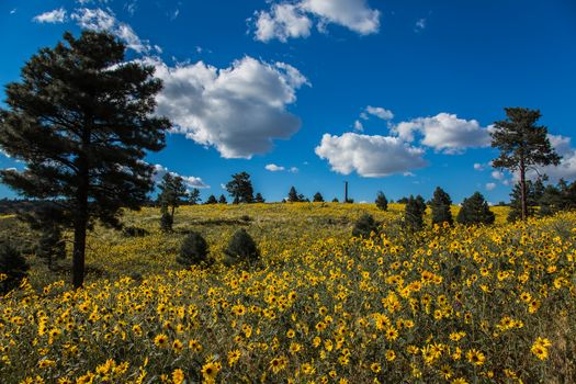 Coconino National Forest, Arizona, Arizona, meadow, flowers, trees, pine, clouds