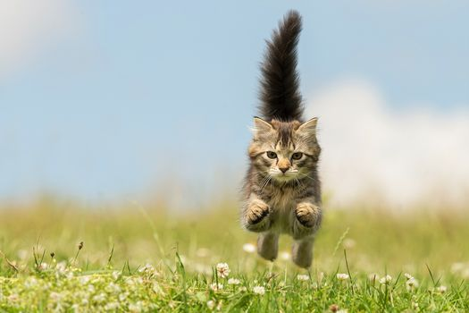 котёнок, хвост, бег, клевер