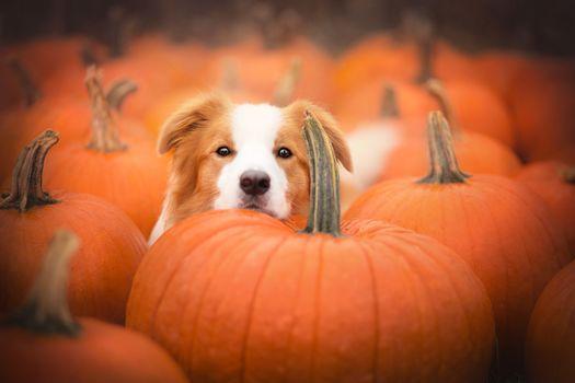 Border-Collie, dog, muzzle, pumpkin