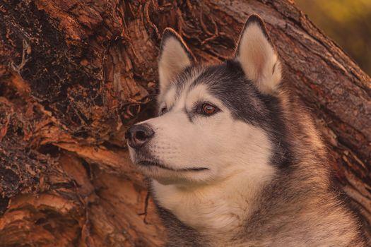 Alyaskinskiy Malamute, dog, muzzle, portrait