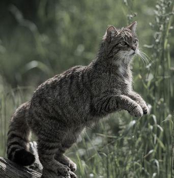 лесная кошка, дикая кошка, кот, кошка