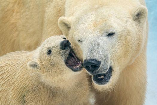 белые медведи, полярные медведи, медведи, нести, медвежонок