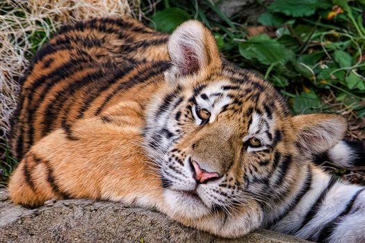 Амурский тигр, тигрёнок, взгляд