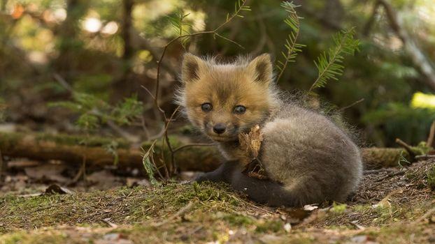 a Fox, lysёnok, detyonış, kid, sight