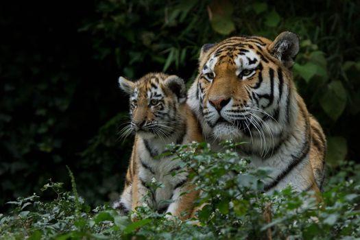 tigers, tigress, tyhrёnok
