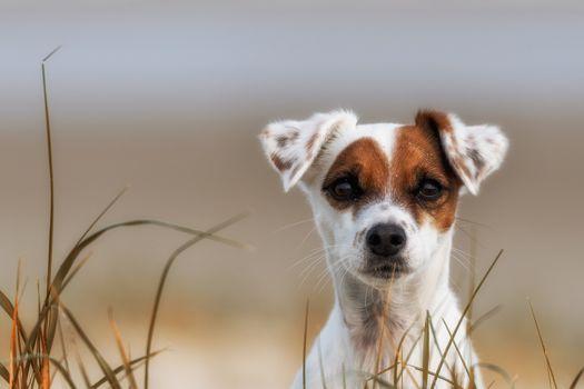 Parson Russell Terrier, dog, puppy, mordashka, sight, grass