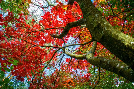 autumn, tree, maple, branches