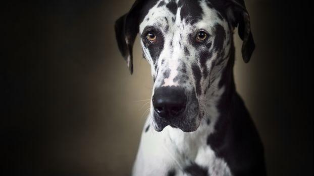 German dog, dog, muzzle, sight, background