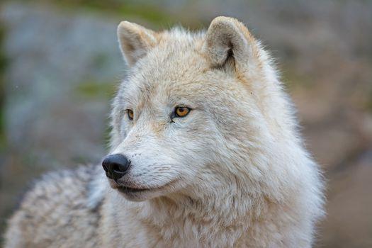 Melvil'skij ostrovnoj волк, волк, хищник, морда, взгляд, портрет