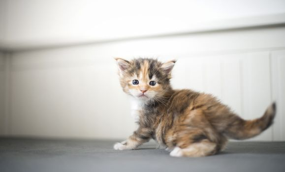 Maine Coon, kitten, kid