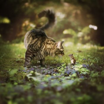 Мейн-кун, кот, бурундук, грызун, встреча, знакомство, бедра