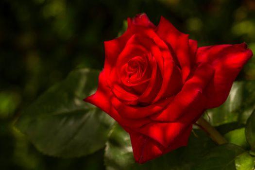 Red Rose, rose flower, button, petals, macro