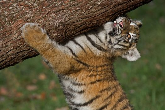 Амурский тигр, тигр, тигрёнок, detyonış, бревно, SILAC