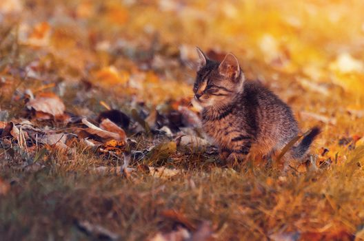 kitten, kid, autumn, leaves