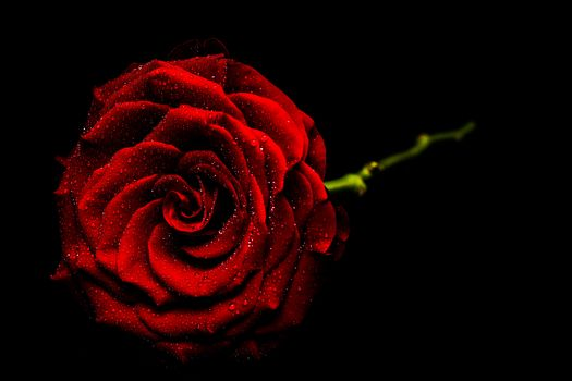 rose flower, roses, flower, flowers, flora, Black background