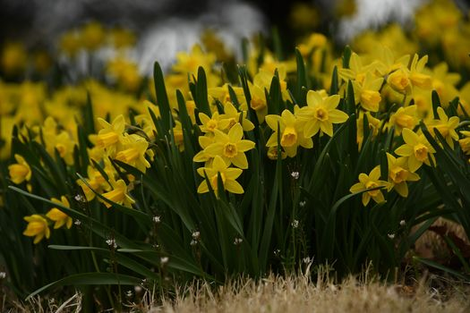 Daffodils, yellow, many