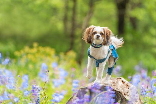 Shih Tzu, dog, flowers, a rock, hips
