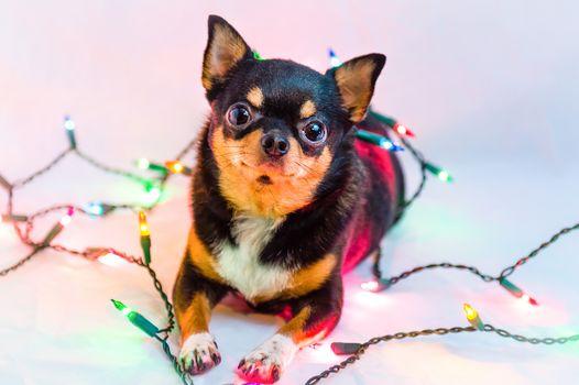 Chihuahua, dog, sight, garland, background