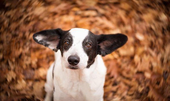 dog, muzzle, ears, sight, hips