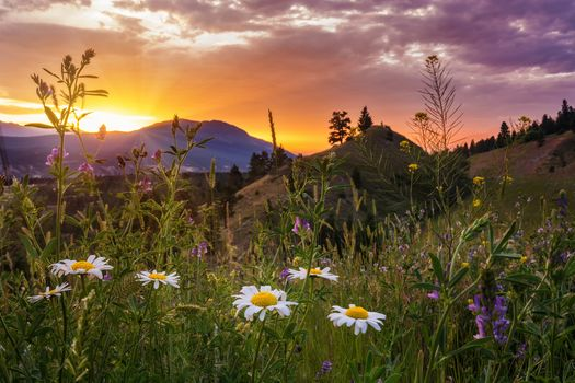 Kootenay National Park, Kootenay Rockies, British Columbia, Canada, Kootenay National Park, British Columbia, Canada, the mountains, meadow, sunset, flowers, chamomile