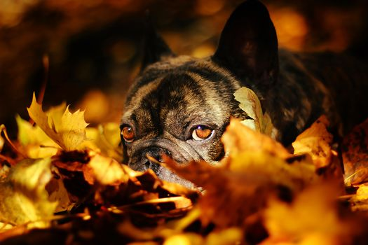 French Bulldog, dog, mordashka, sight, leaves, autumn