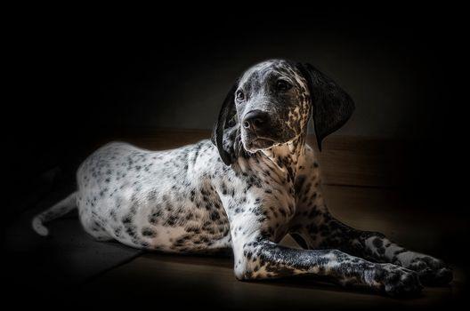 Dalmatian, dalmatian, dog, animal