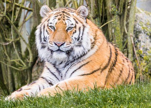 tiger, predator, animal