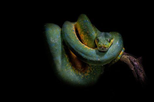 snake, python, Black background