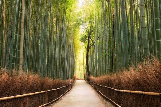 Kyoto, Japan, bamboo, morning, Sunrise, Sagan, bamboo forest, road, landscape