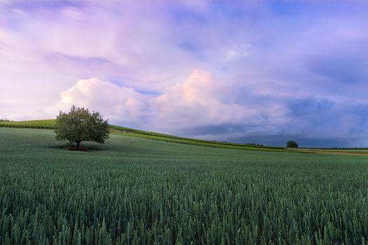 sunset, field, tree, landscape