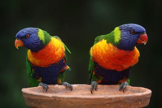 rainbow lorikeet, Australia, Iridescent or Coconut Lorikeet, a parrot