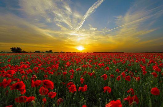 sunset, field, maki, flowers