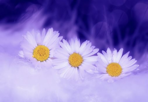 chamomile, flowers, flora
