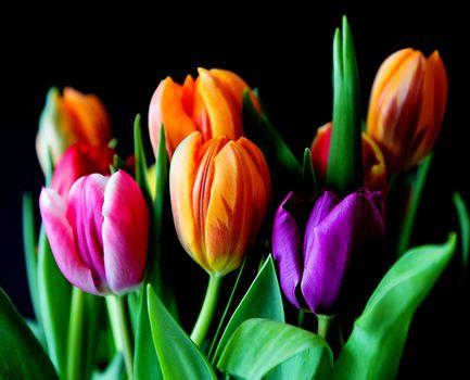 tulips, flowers, flora