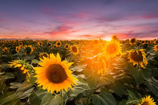 sunset, field, sunflowers, landscape
