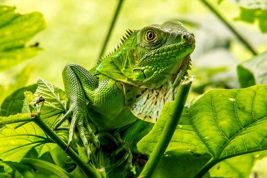 guana, Iguana, lizard, It refers to the class of Reptiles