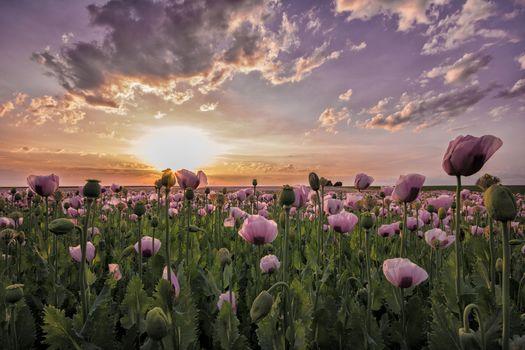 закат, поле, маки, цветы, пейзаж