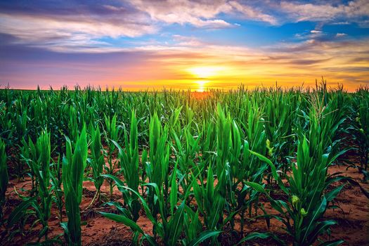 Texas, USA, field, sunset, corn, landscape
