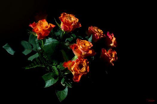 roses, flowers, flora