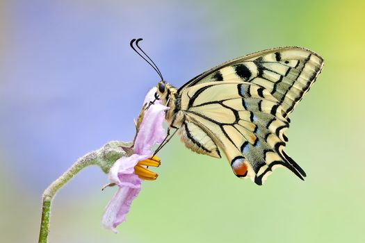 Swallowtail, Papilio machaon, butterfly, flower, macro