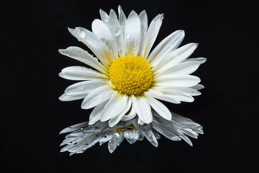 chamomile, Black background, flower, flora
