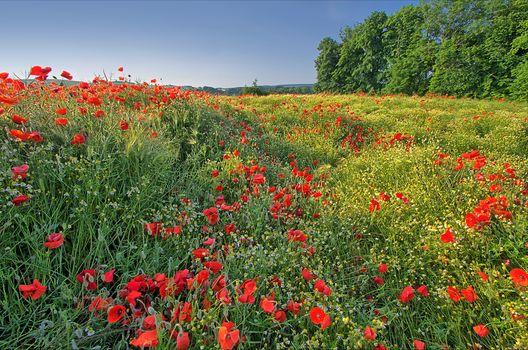 field, trees, flowers, maki, landscape